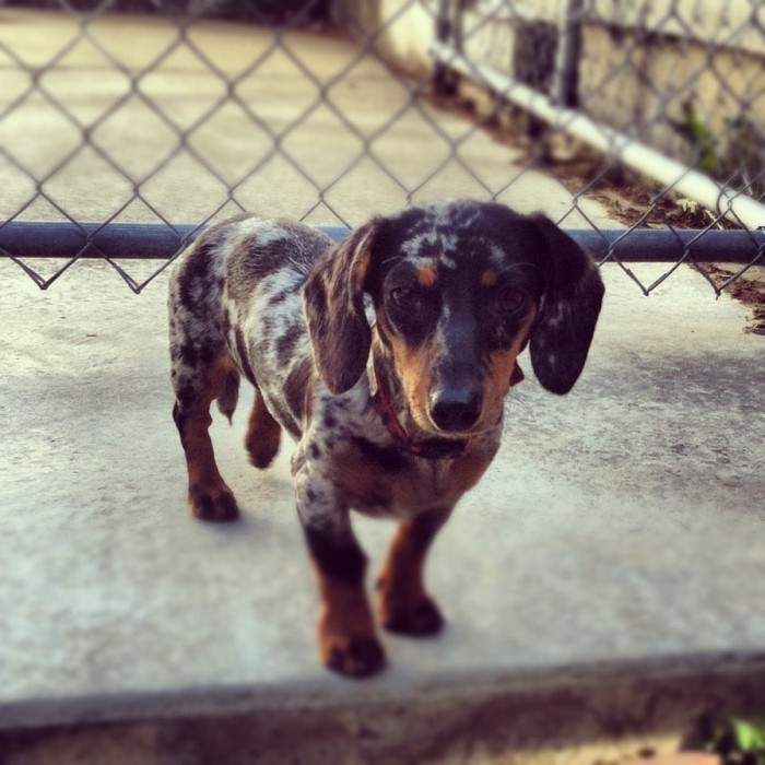 Dachshund checking out the yard