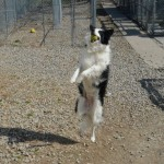 Boarder collie and tennis ball