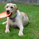 Yellow lab with frisbee